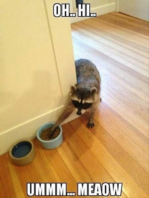 Cats,cat food,disguise,funny,steal,raccoons