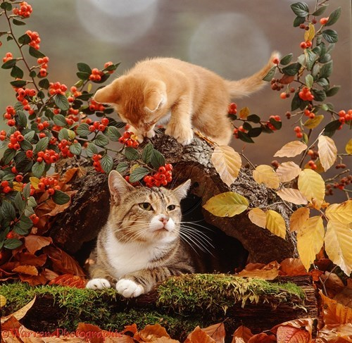 autumn kitten leaves squee spree Cats fall - 7924263424