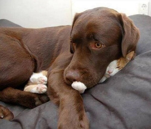 Cats cute dogs friends snuggle squish - 7924385792