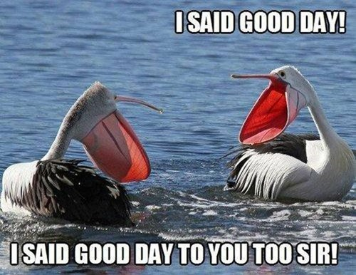 birds big mouth good day pelicans loud mouth