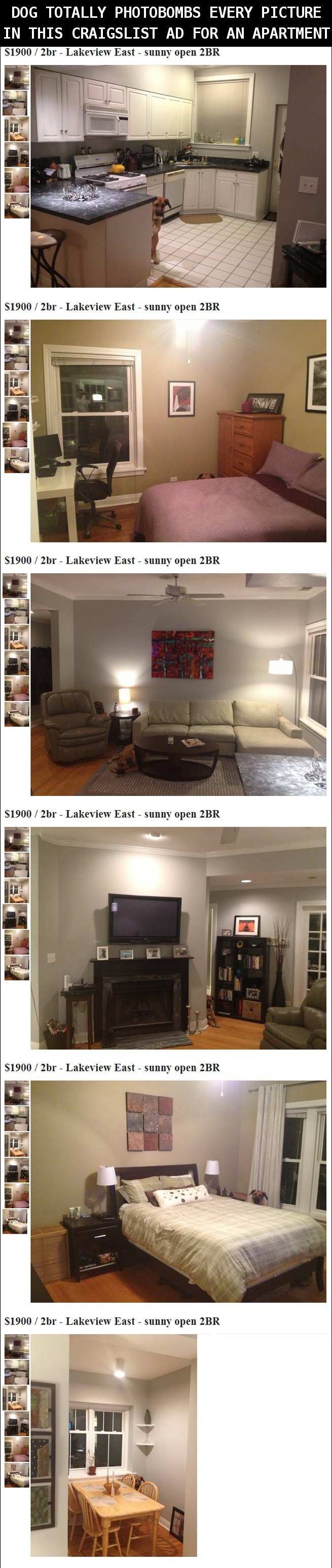 Dog photobombing Craigslist apartment listing in Lakeview and the dog is in every picture of the apartment.