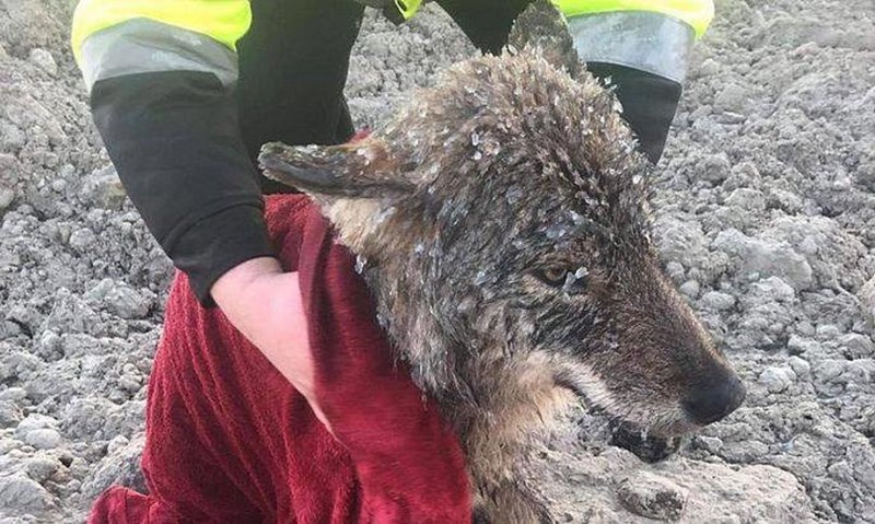dogs estonia saved wolf rescue - 7927557
