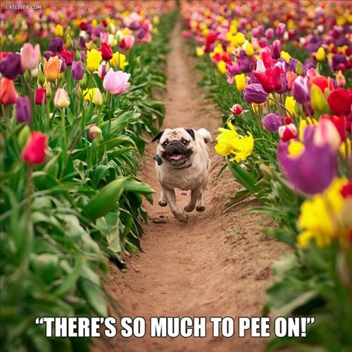 dogs pee running tulips