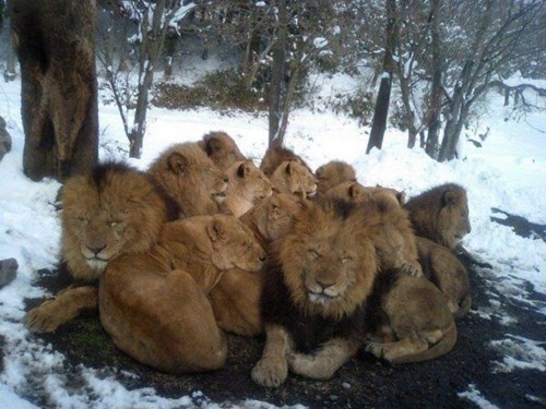 cute cold snow snuggle lions warm