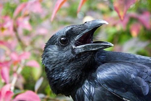 birds funny science crows smart - 7930850048