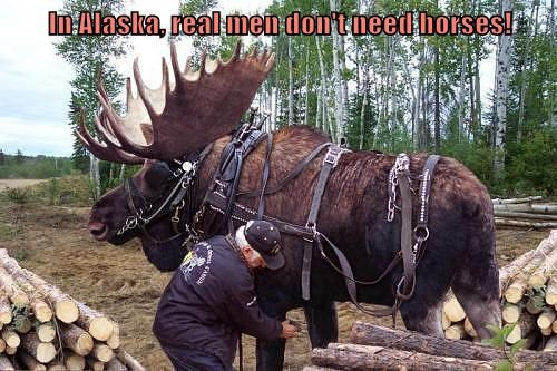 Funny meme of a moose that is rigged up with a saddle like you'd expect to see for a horse.