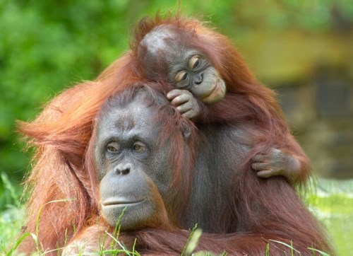 baby cute snuggle orangutans mom squee - 7933197824