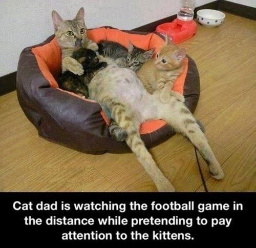 dads kitten cute football Cats - 7934886400