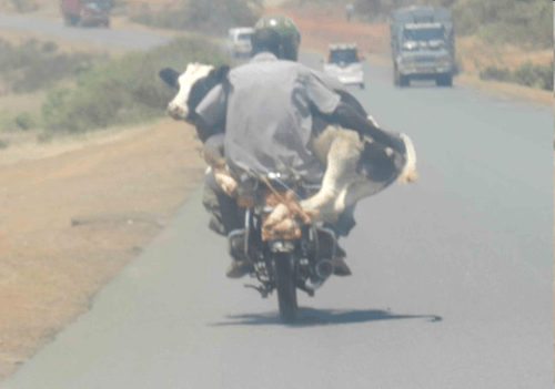 cows dangerous motorcycle funny safety special delivery - 7935150336