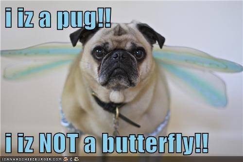 dogs,butterfly,pugs
