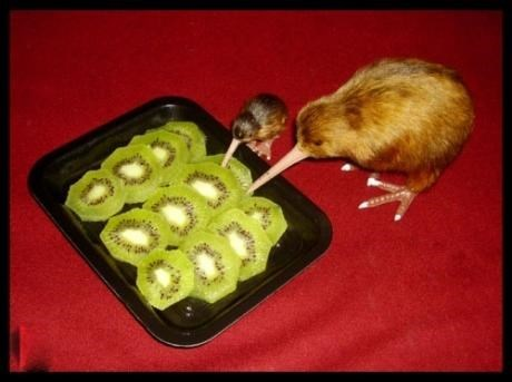 cute birds kiwis squee