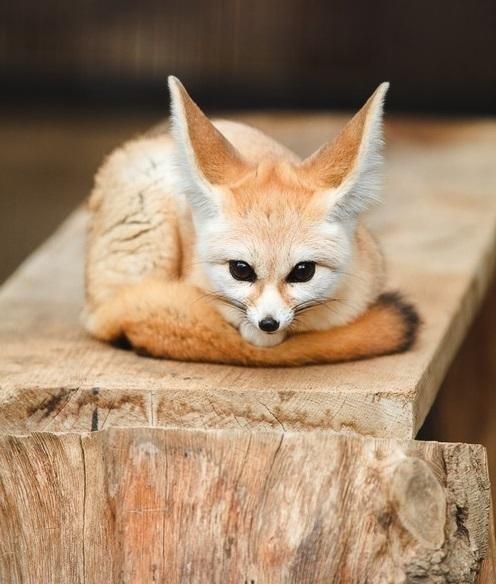 cute foxes fennec fox ears squee - 7937661184