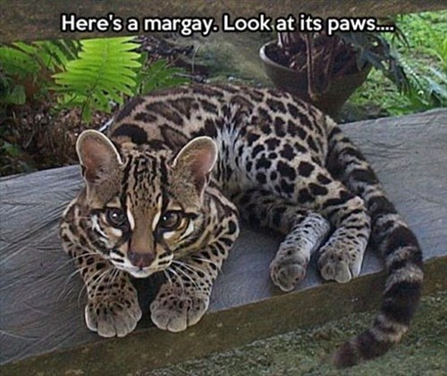 cute exotic toes squee margay scute - 7938073344