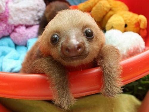 cute,sloths,snuggle,squee