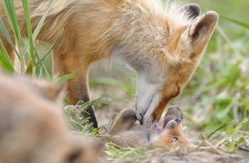 Babies cute foxes squee - 7939729664