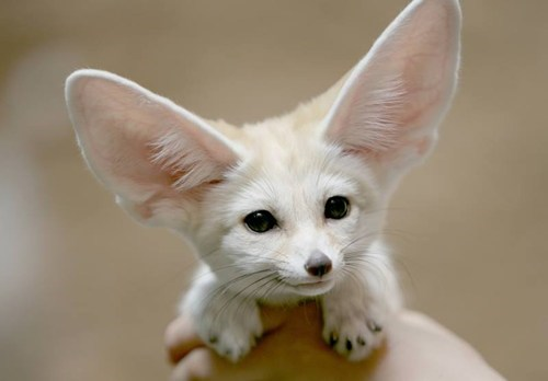 cute fennec foxes foxes ears - 7945869312