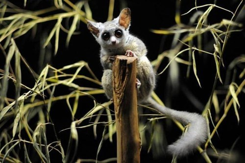 cute nocturnal bush babies - 7945869568