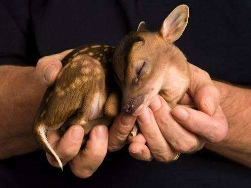 Babies cute fawns tiny sweet - 7945872384