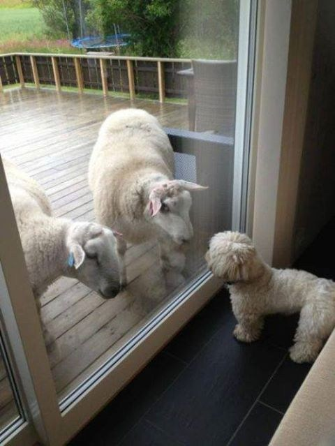 dogs looks like funny sheep