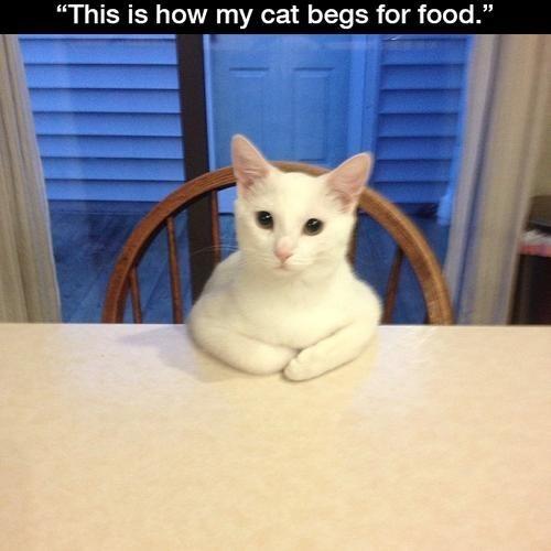 beg Cats cute funny negotiate - 7946747136