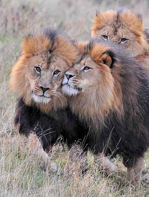 snuggle,lions,nuzzle