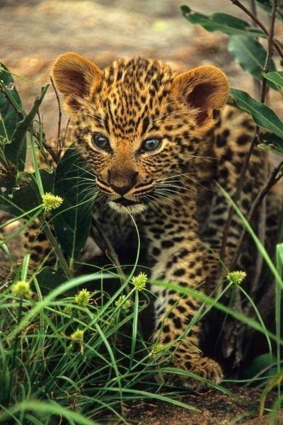 Babies cute leopards hunt squee - 7948425728