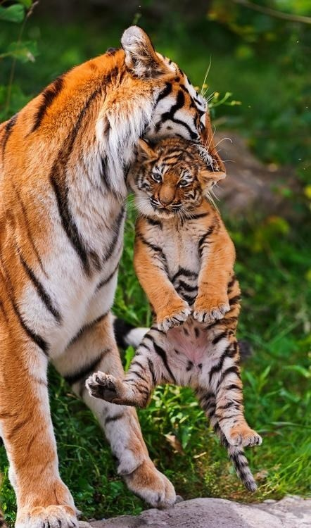 cute cubs mom tigers squee - 7950492416