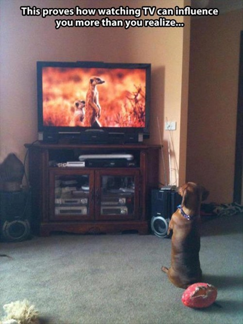 dogs Meerkats funny television - 7950574848