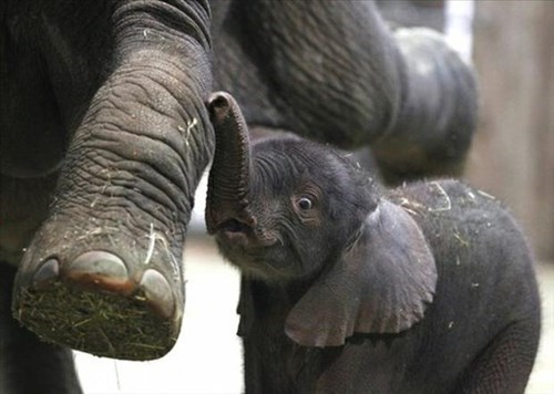 cute baby elephants elephants squee - 7950577152
