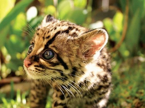 ocelots,cute,bright