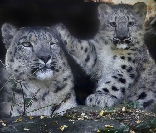 cute cubs snow leopards - 7952246784