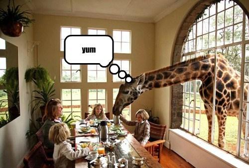 table dinner beg funny giraffes - 7953809664