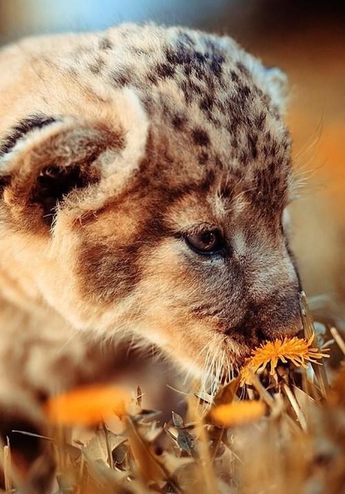 cheetahs cute flowers cubs squee - 7955814656