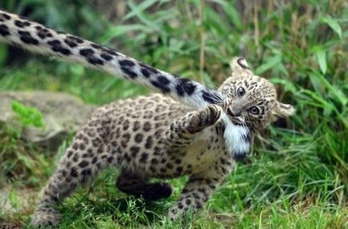 cubs,mischief,leopards