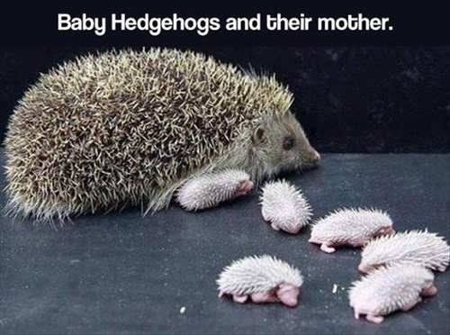 Babies cute hedgehogs sharp - 7957429248