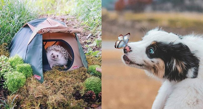 hedgehog in a tiny tent and a butterfly landing on a dog's nose