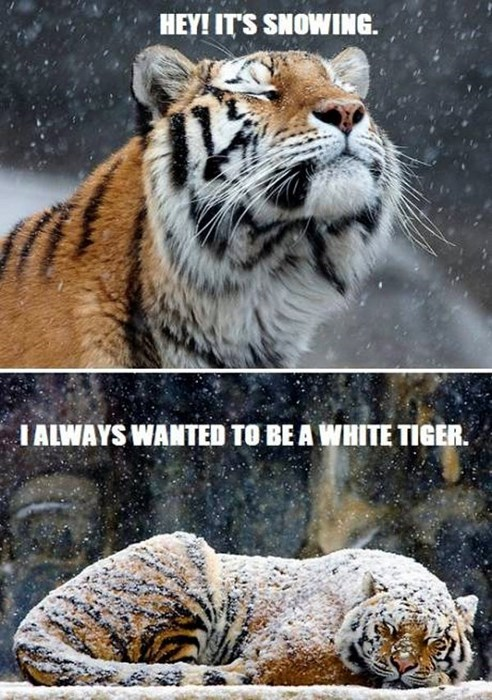 cute cold snow tigers white tigers - 7958605568