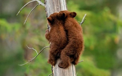 cute bears climb cubs