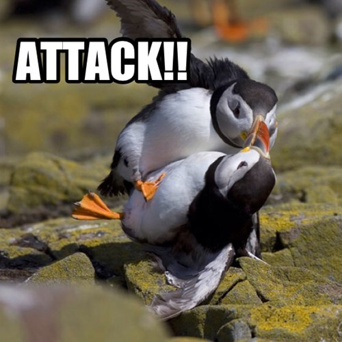 attack,birds,fight,funny,puffin