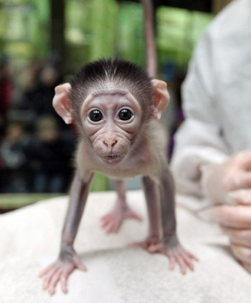 Babies cute doctor monkeys squee - 7962214144