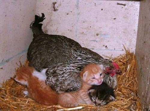 Cats kids kitten chickens parenting - 7963556096