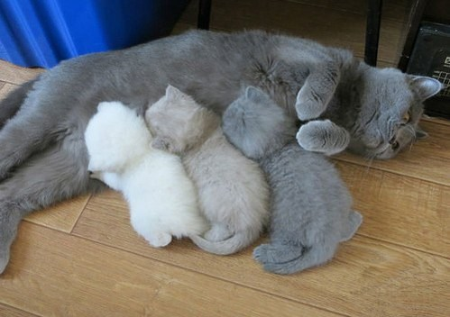 Momma cat running out of toner as 3 kittens of varying less greyscale feed from her.