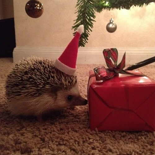 pin cushion,christmas,presents,cute,hedgehogs,squee