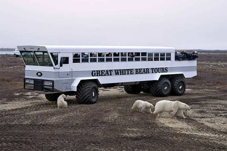 polar bears tour