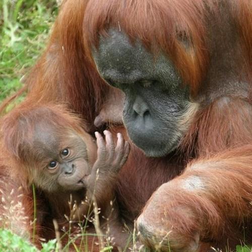 Babies apes cute mama - 7965597952