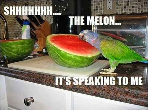 birds love watermelons parrots - 7965688320