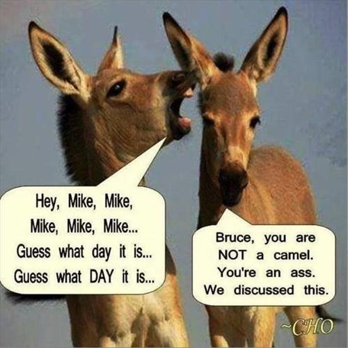 annoying camels donkeys funny - 7965758976
