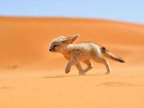cute foxes desert sand wind