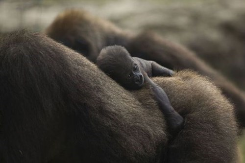 Babies,cute,gorillas,ride
