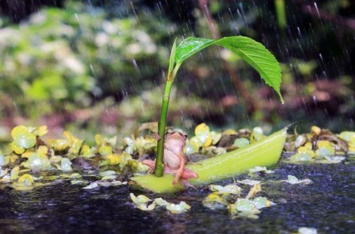 cute funny frogs squee rain - 7965794816